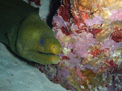 green-moray